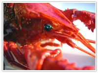 Astaxanthin gives lobsters, shrimp and flamingos their red coloring