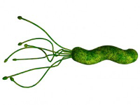 h.pylori - spiral bacteria that burrow into stomach lining with ill results