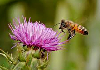 Milk_Thistle_and_Bee