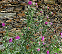 Milk_Thistle_plants